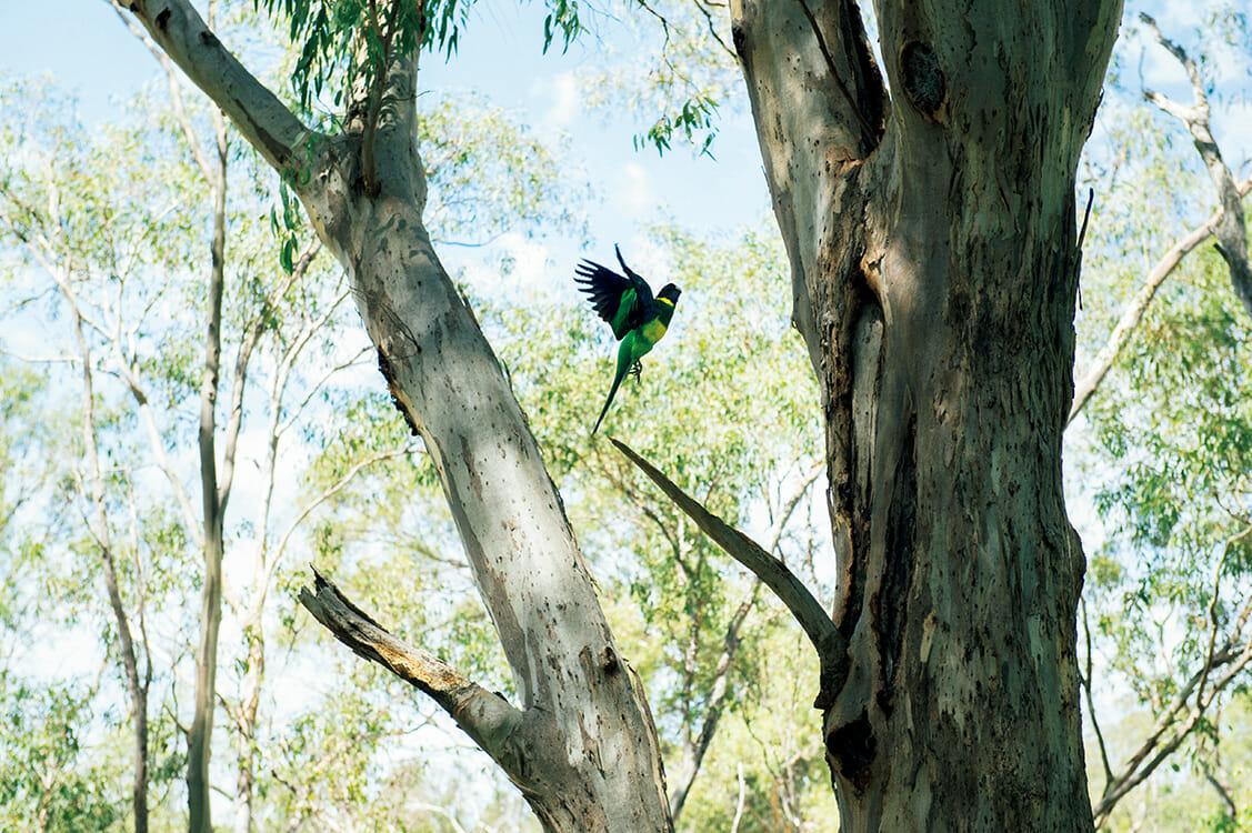 オーストラリアは野鳥の楽園でもある。スワン川沿いに群れをなしていたのは、黄緑の体に青い頭、赤いくちばしを持つレインボーロリキート。日本名では、その名もゴシキセイガイインコ。