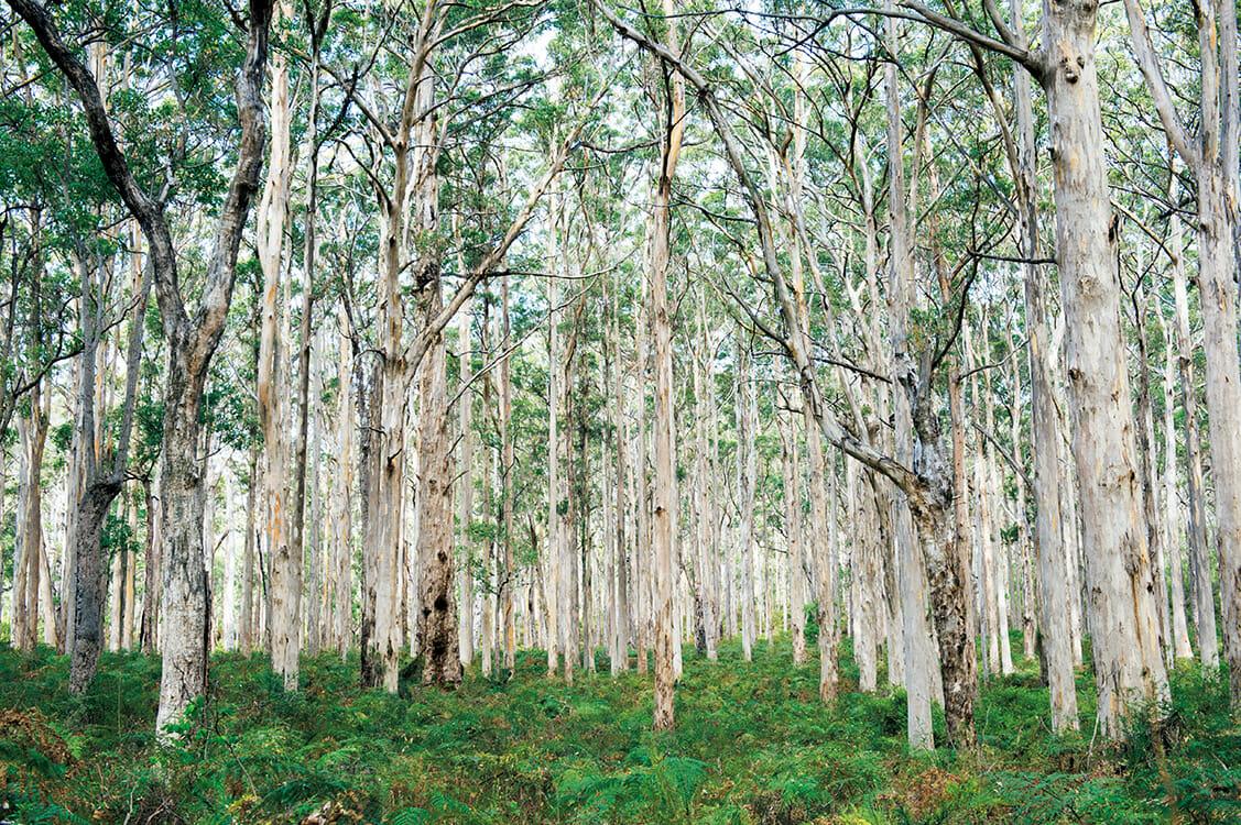 マーガレットリバーのユーカリの森