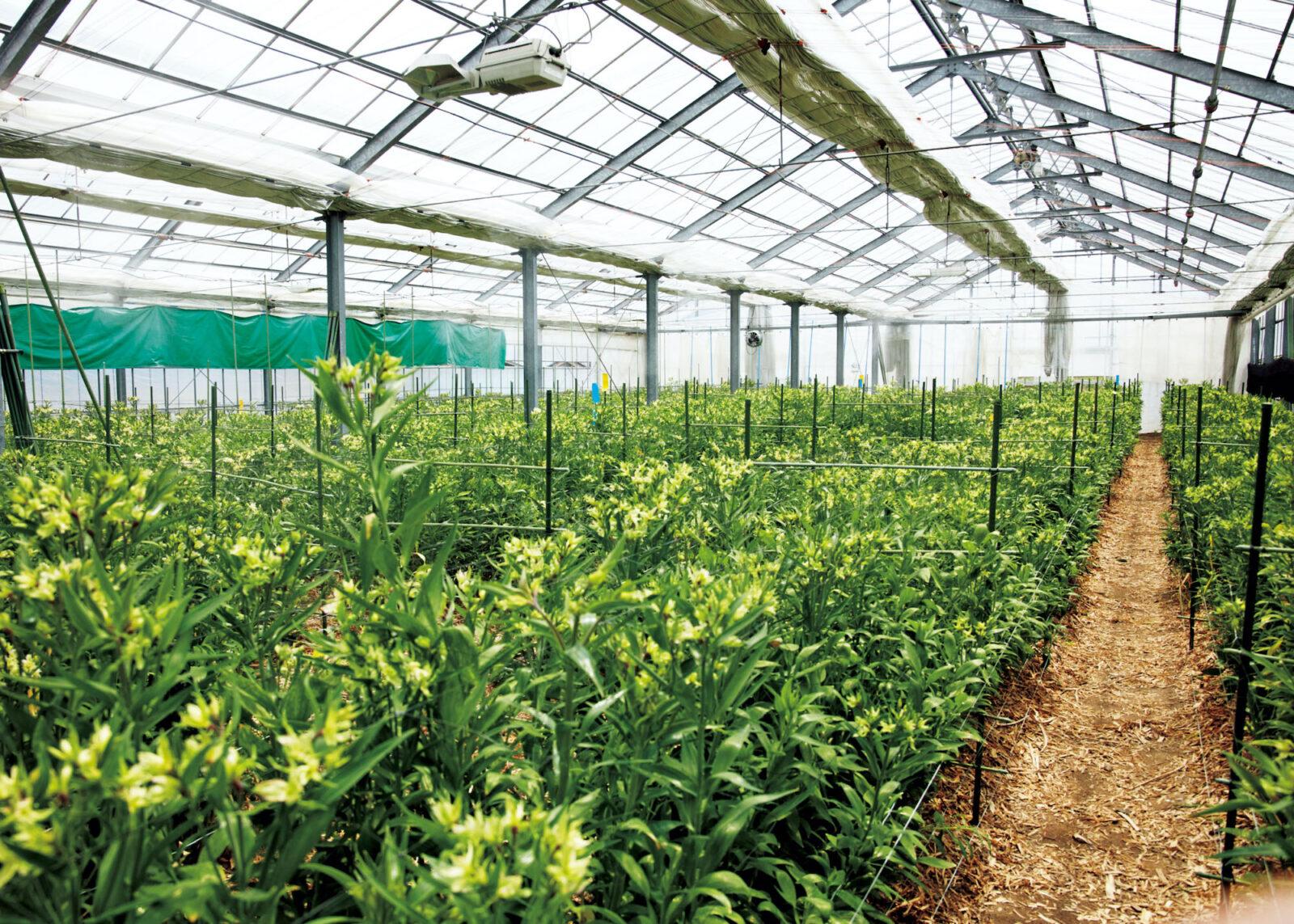 オリジナル品種、グリーンモジャが咲き誇るハウス内。そのネーミングにも、生産者の個性が出る。