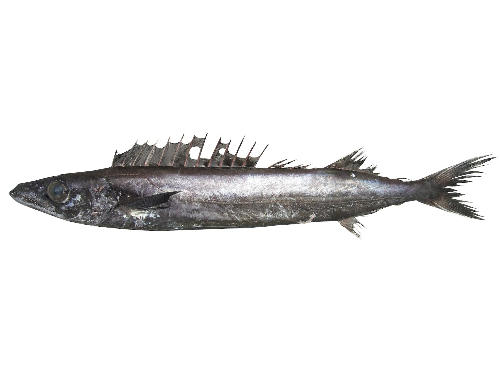クロシビカマス ブルータス 魚