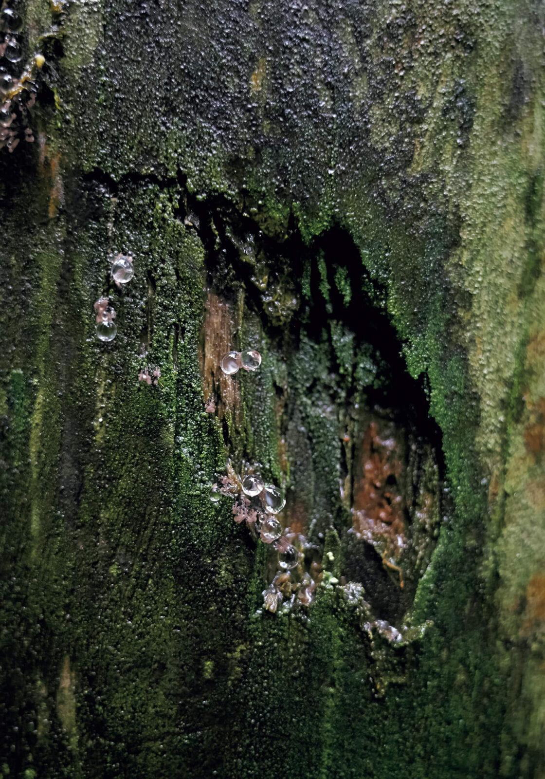 木の表面を注意深く観察すると、先端に蒴(胞子嚢)をつけた苔の胞子体を見ることができる。小さな胞子体が雨の水滴を纏った姿は、まるで繊細なガラスアートのよう。