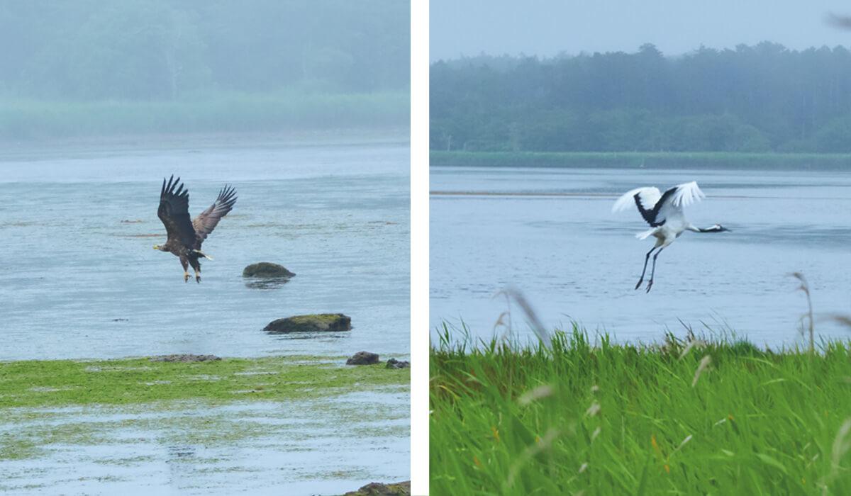 (左)野鳥の楽園、風蓮湖にオジロワシが。(右)国の特別天然記念物のタンチョウも間近で。