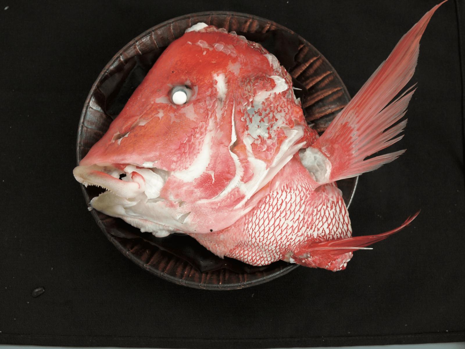 センネンダイ ブルータス 魚