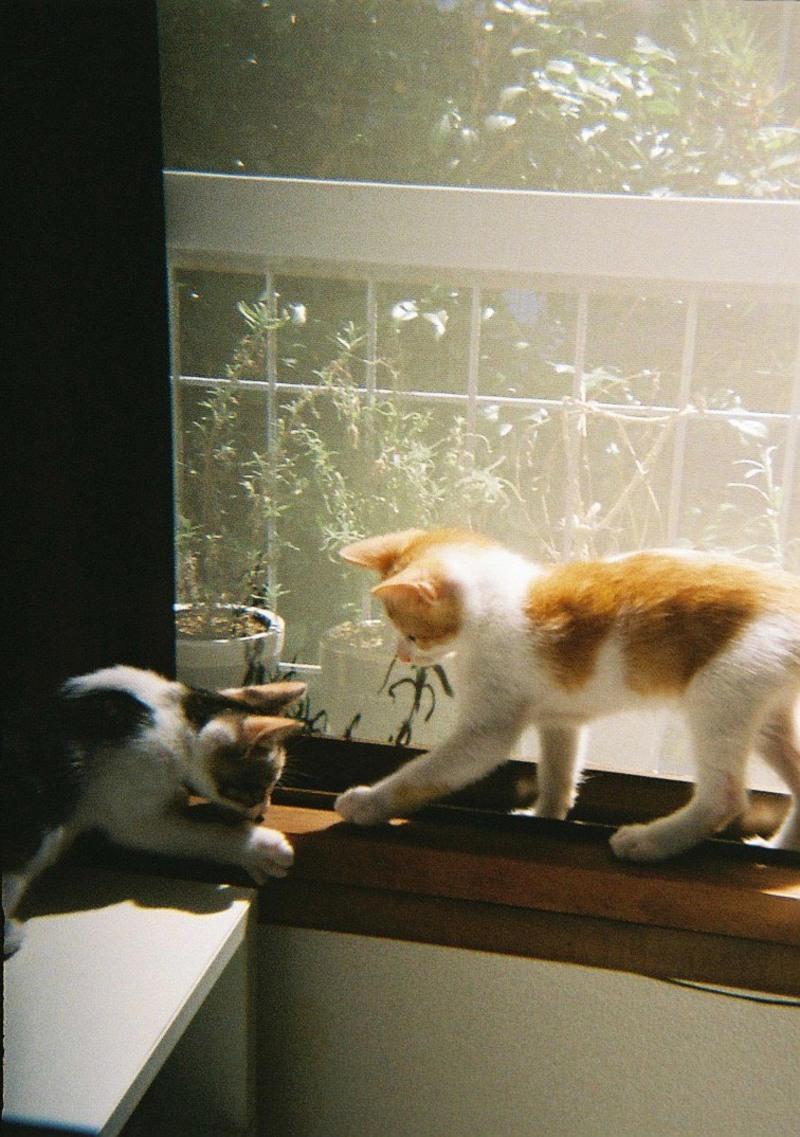 「ワンワン鳴いたりして犬っぽい」という、兄弟猫の風(ふう)と鈴(すず)。
