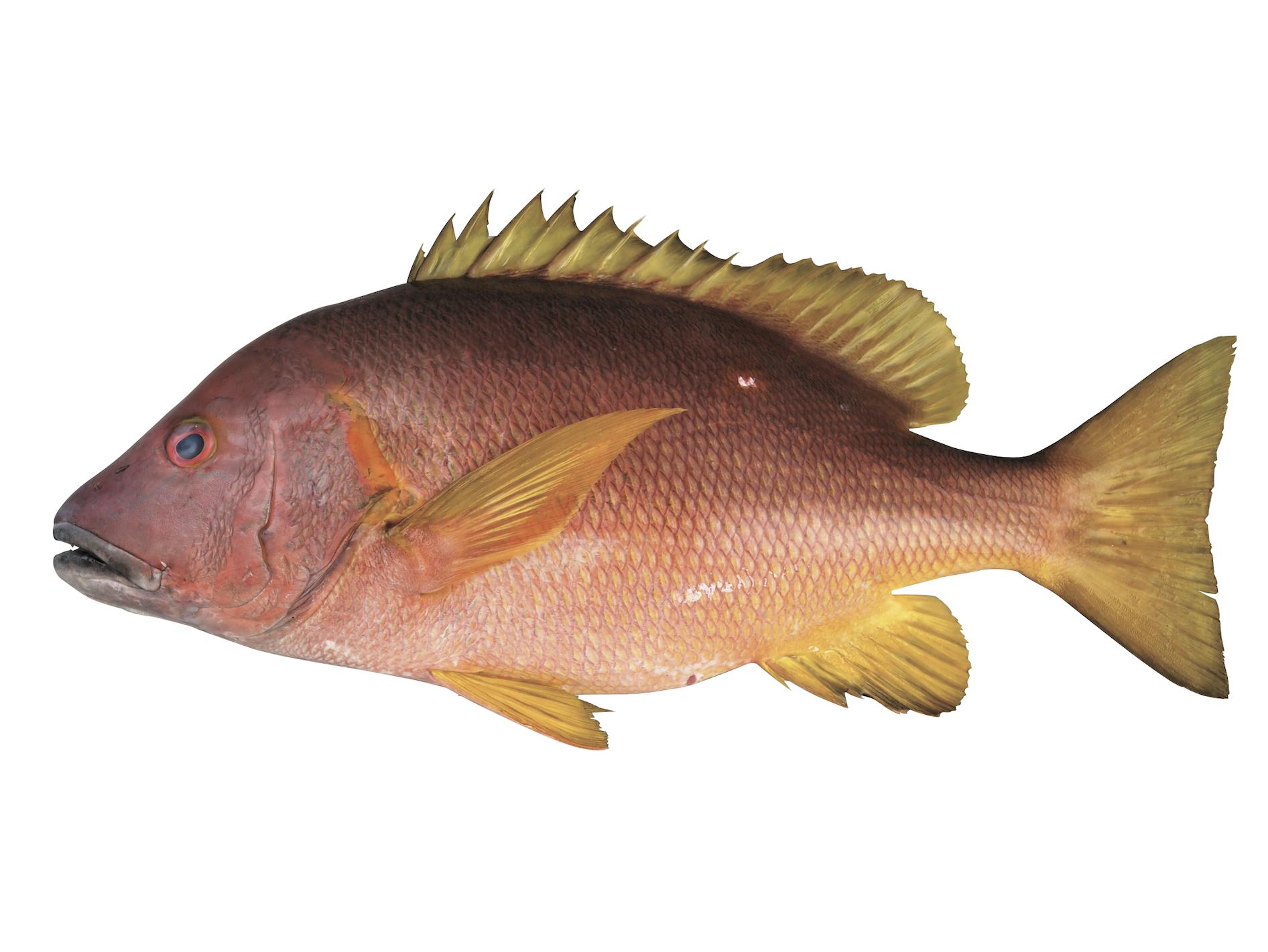 フエダイ ブルータス 魚