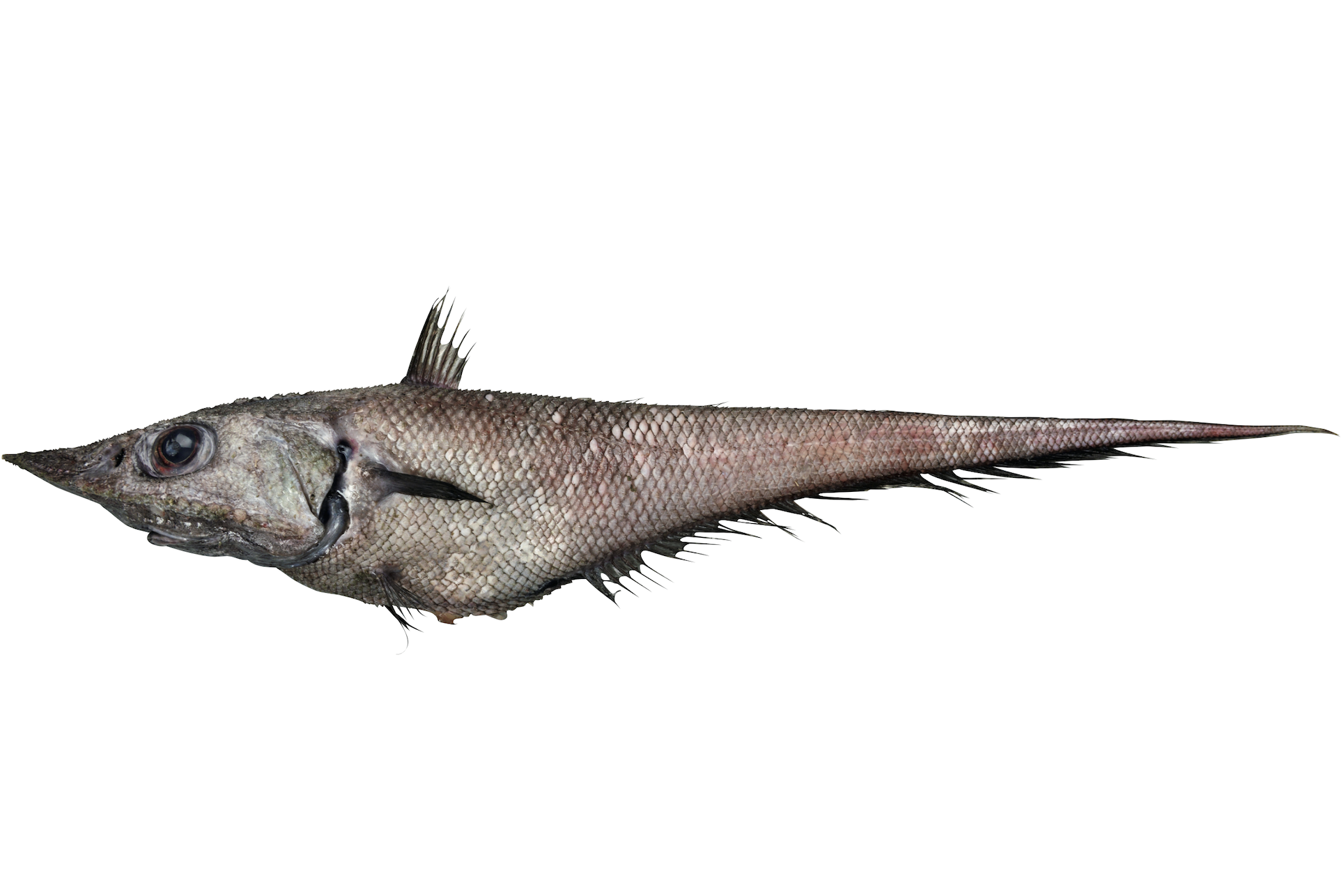 オニひげ ブルータス 魚