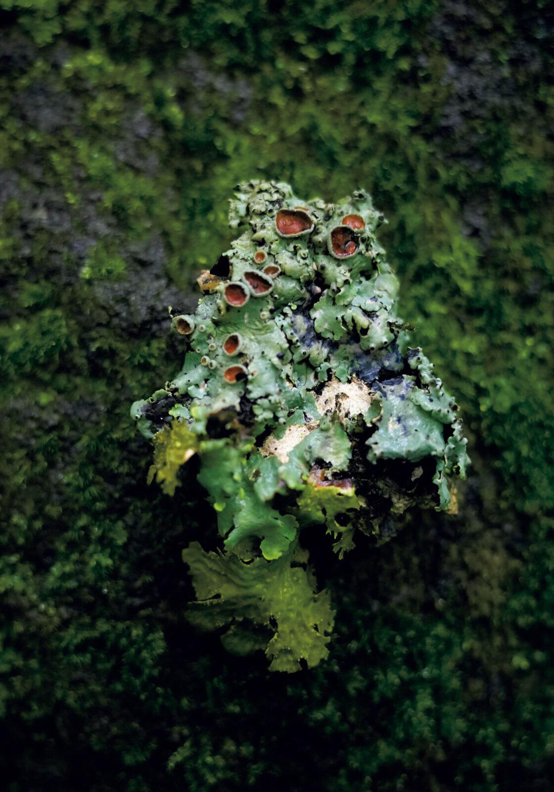 写真は地衣類と呼ばれる、菌と藻の共生体。菌が藻のすみかとなる代わりに、藻が光合成して作った養分を蓄えるのだという。自然界の見事な共生関係がここに成り立っている。