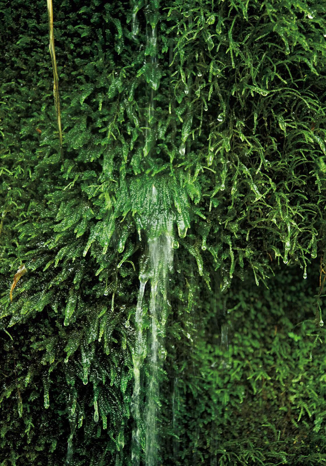 びっしりとタニゴケに覆われた岩の隙間からは、湧き水が滝のように流れ落ちる。細い毛のように見える苔もルーペで観察してみると驚くほど精密な構造をしていることがわかる。