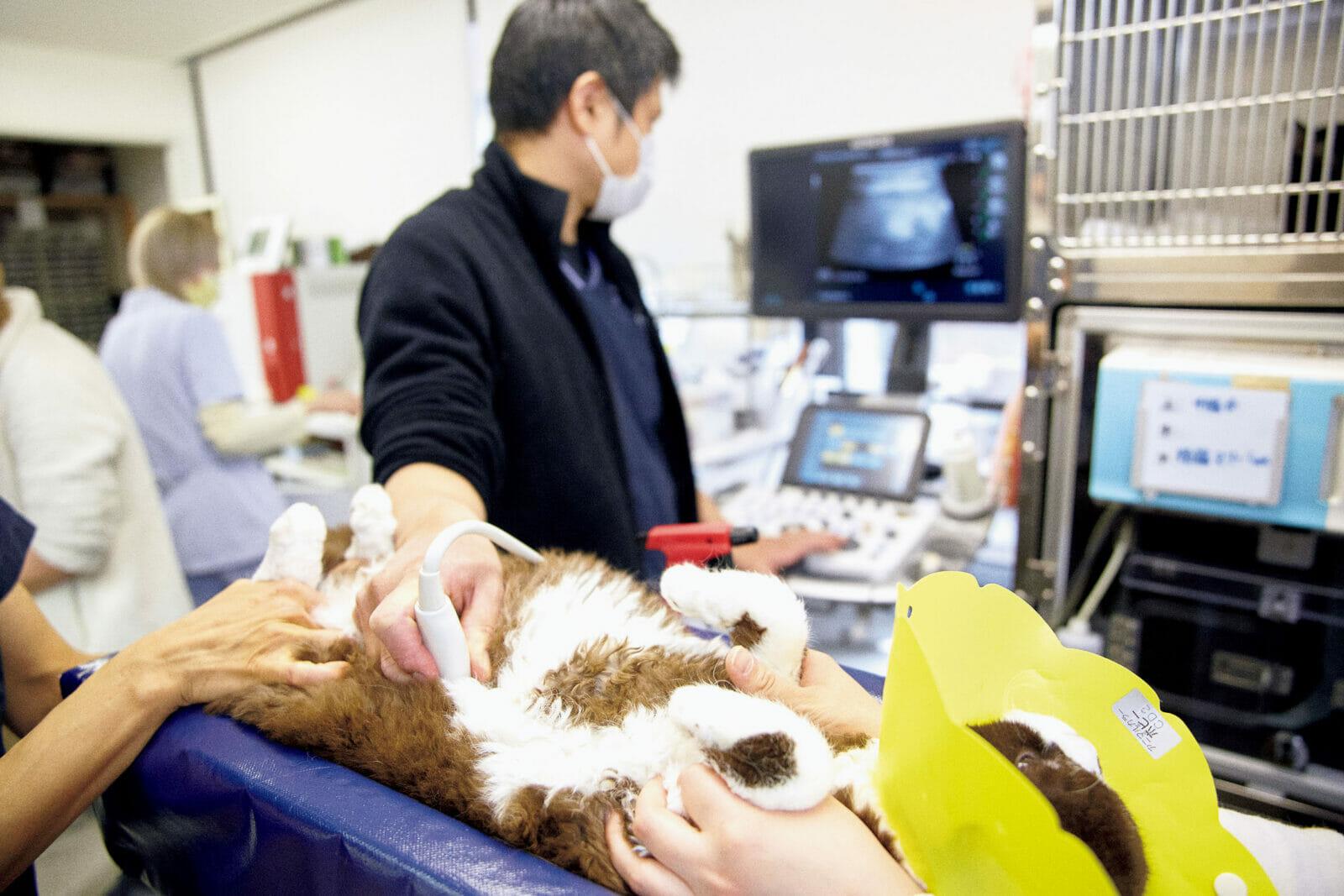 エコーで内臓をチェック血液を採取し膀胱から尿を採取。そして腎臓のエコー検査。腎臓や膀胱の病気を抱える猫は多いが「問題ないですね。セルカークは多発性嚢胞腎が多いんですがこれも問題なし」