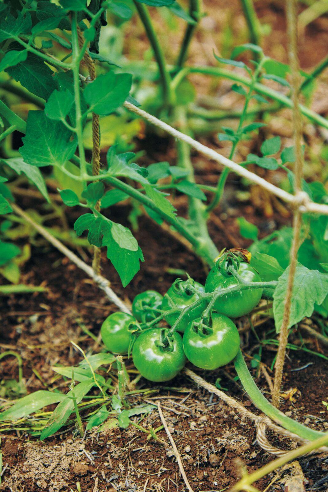 「トマトもネギも、野菜自体の力が強いから虫がつかない。びっくりするほどおいしいうえに、栄養価も高いんです」