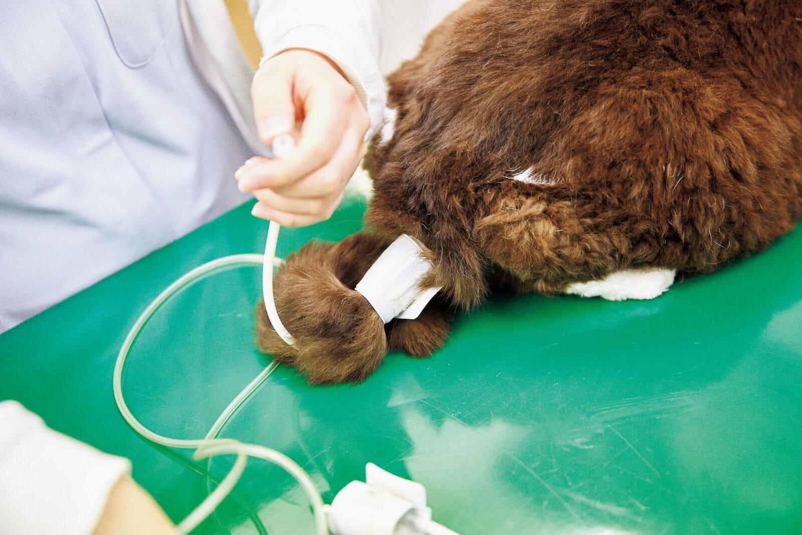 猫も高血圧に注意まずは血圧。しっぽにバンドを巻いて測定する。「猫も血圧は大事。高血圧は命取りです。130~140が正常範囲ですが緊張すると高い値が出ます」と先生。だんごさんは150。
