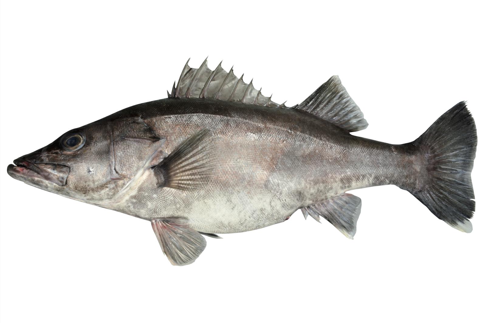 アラ ブルータス 魚