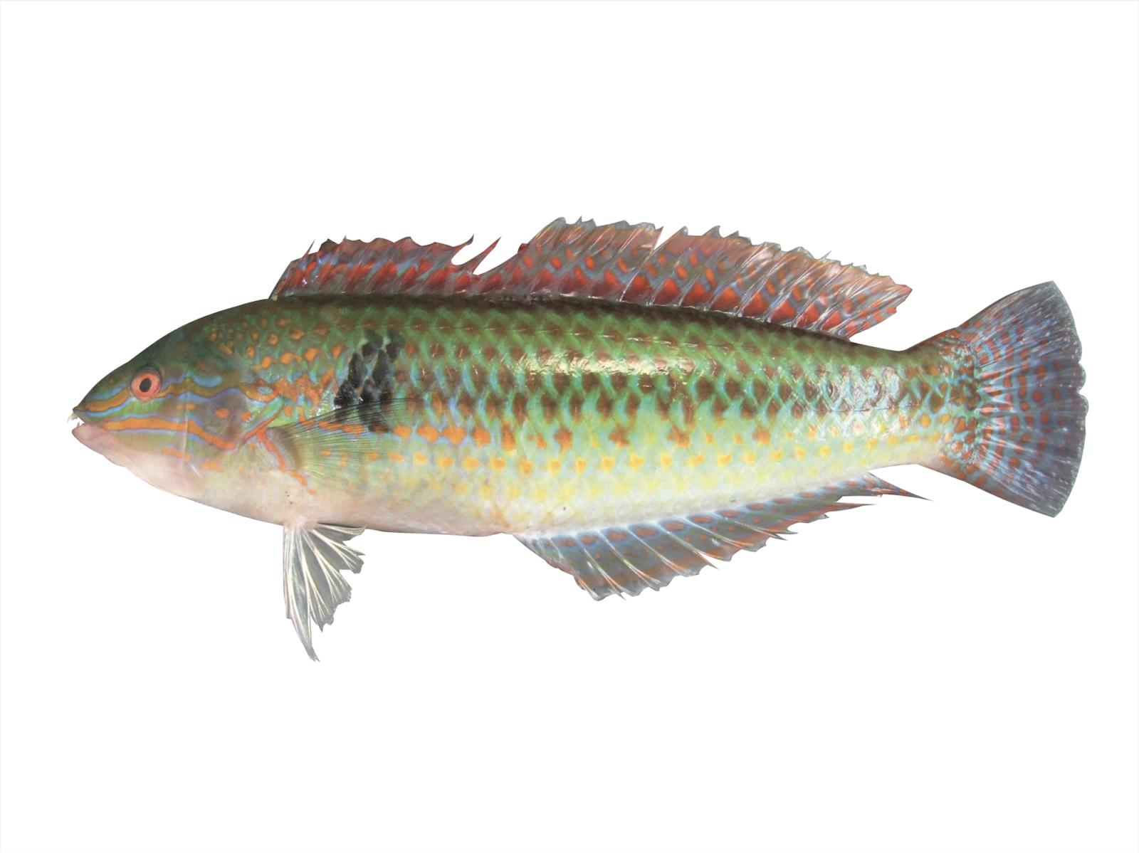 キュウセン ブルータス 魚