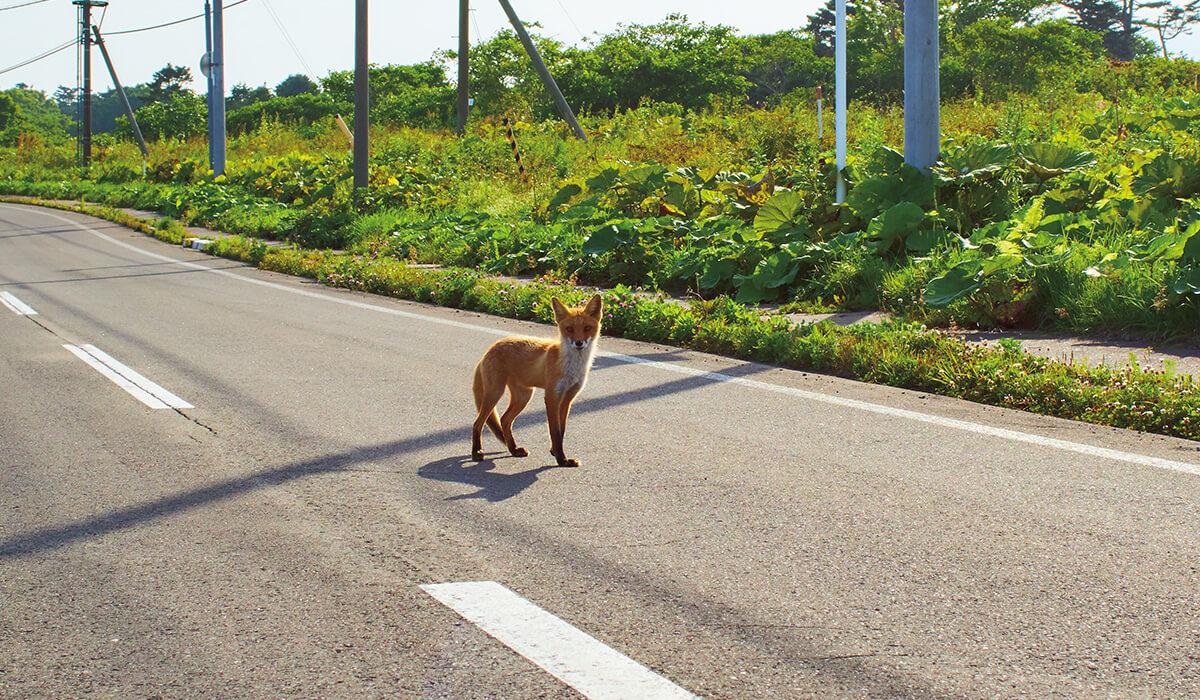 道端でばったり、キタキツネと遭遇。