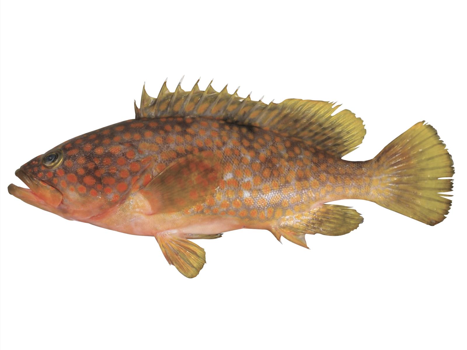 キジハタ ブルータス 魚
