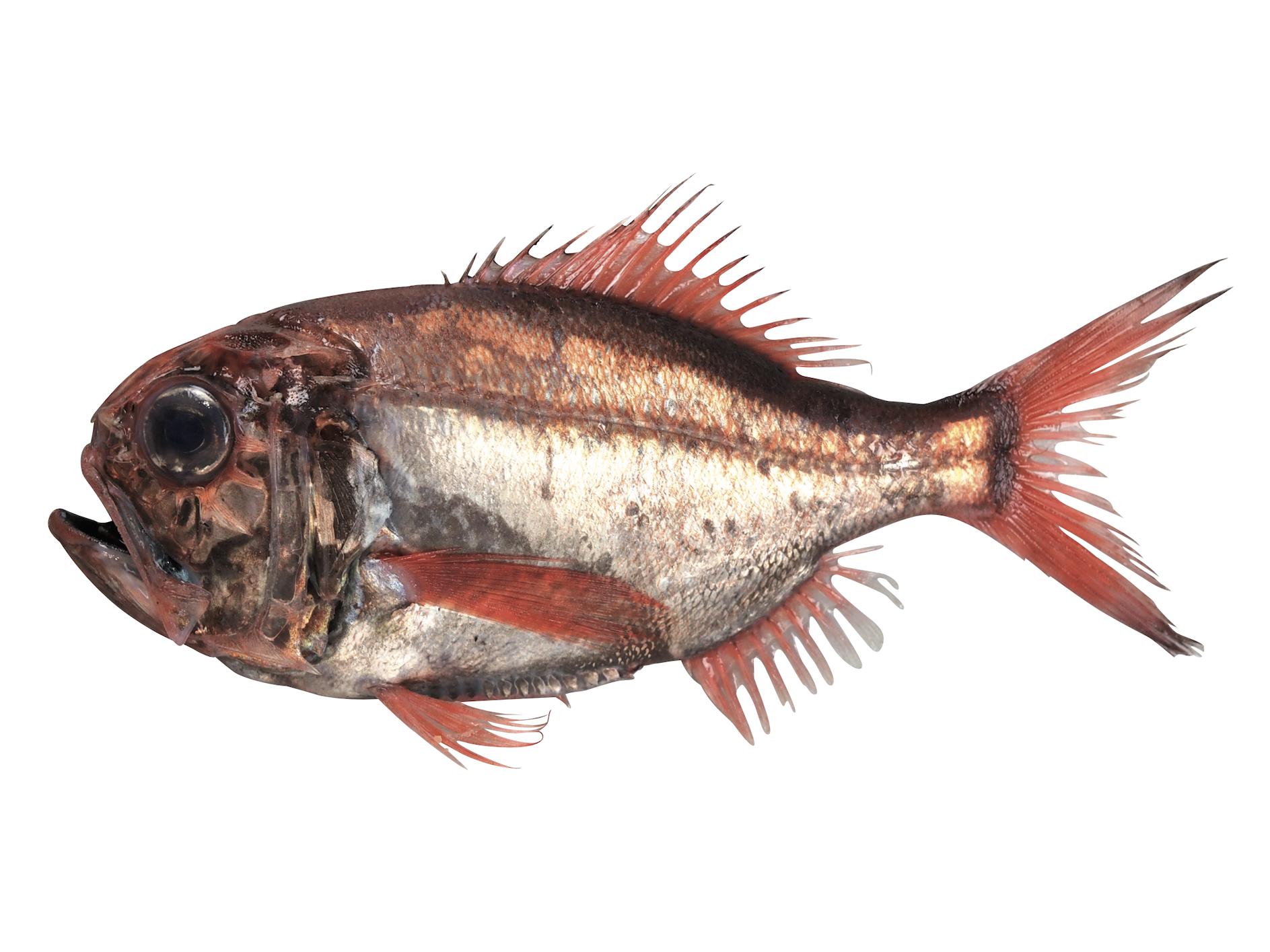 ヒウチダイ ブルータス 魚
