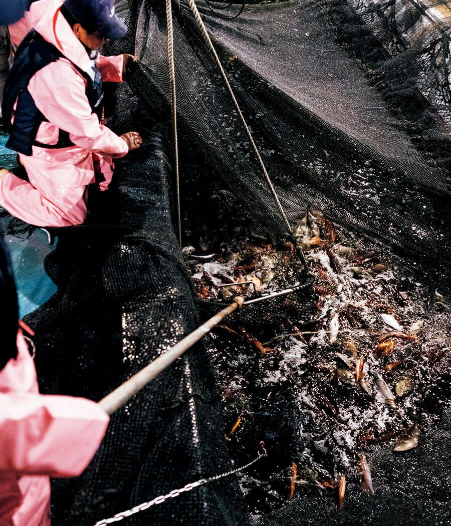 阿吽の連携で魚群が網で引き揚げられる。