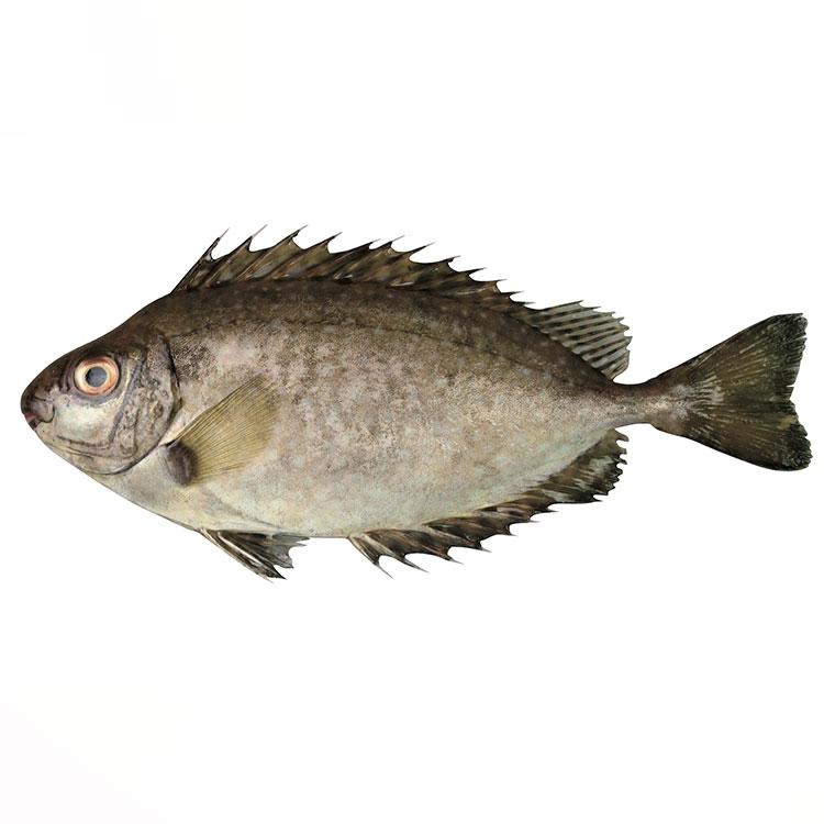 アイゴ 魚