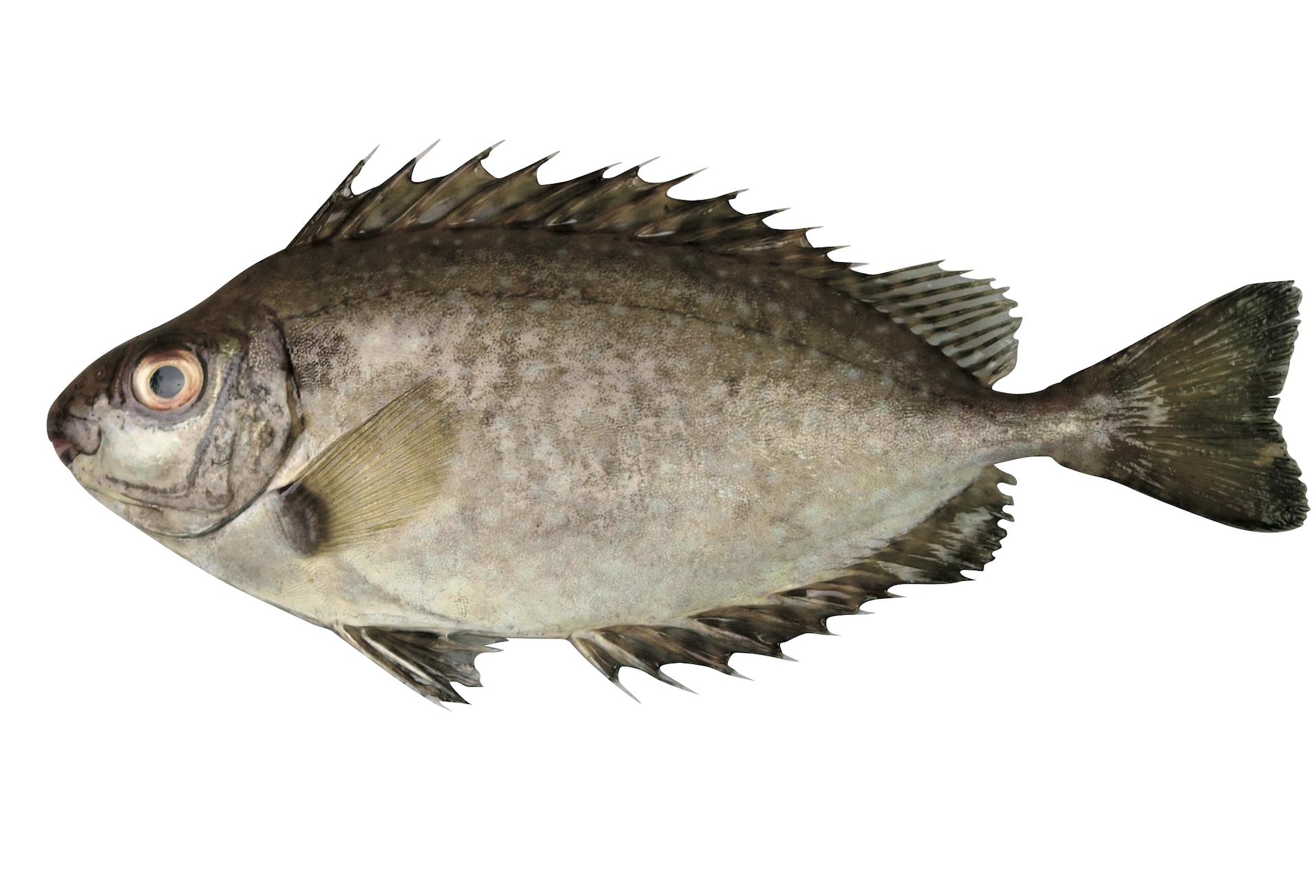 アイゴ 魚 ブルータス