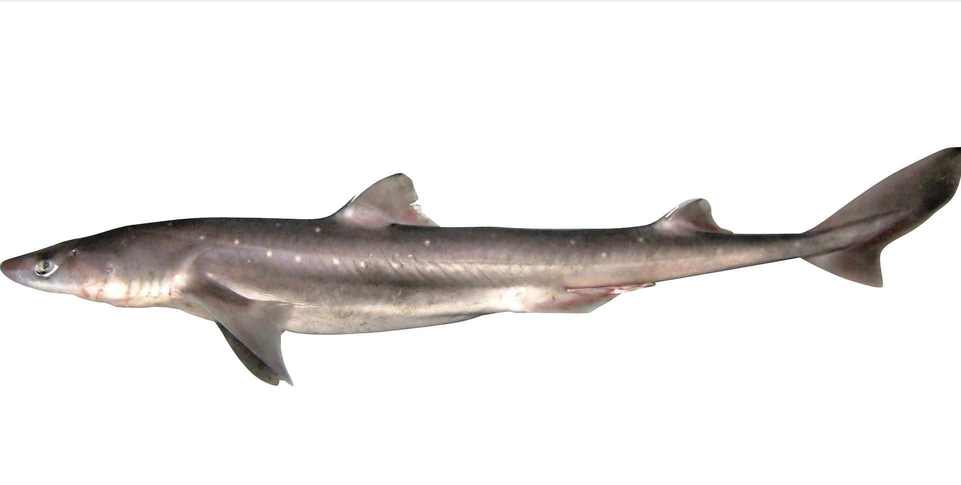 アブラツノザメ ブルータス 魚