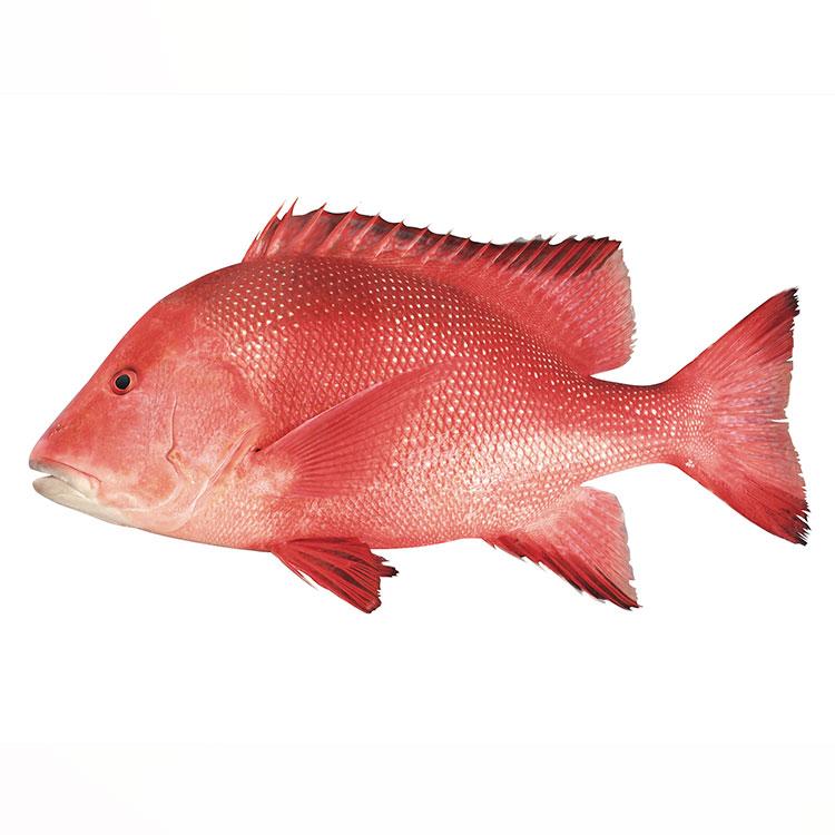 センネンダイ 魚