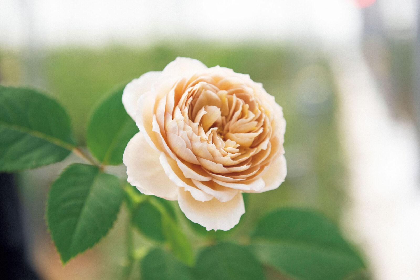 丸い花弁のシャルロット・ペリアン。