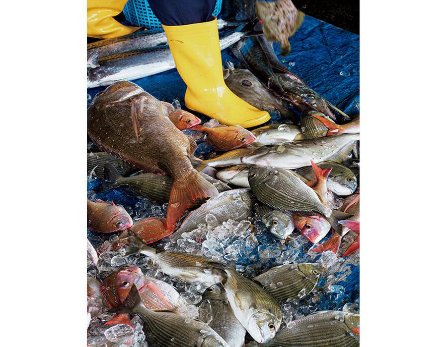 地元で「クロ」と呼ばれるメジナや真鯛が大漁。天草屈指の漁獲高を誇る大江港の水揚げ。船上で処理した魚を万全な状態で出荷するシステムも整っている。http://awakuwak.com