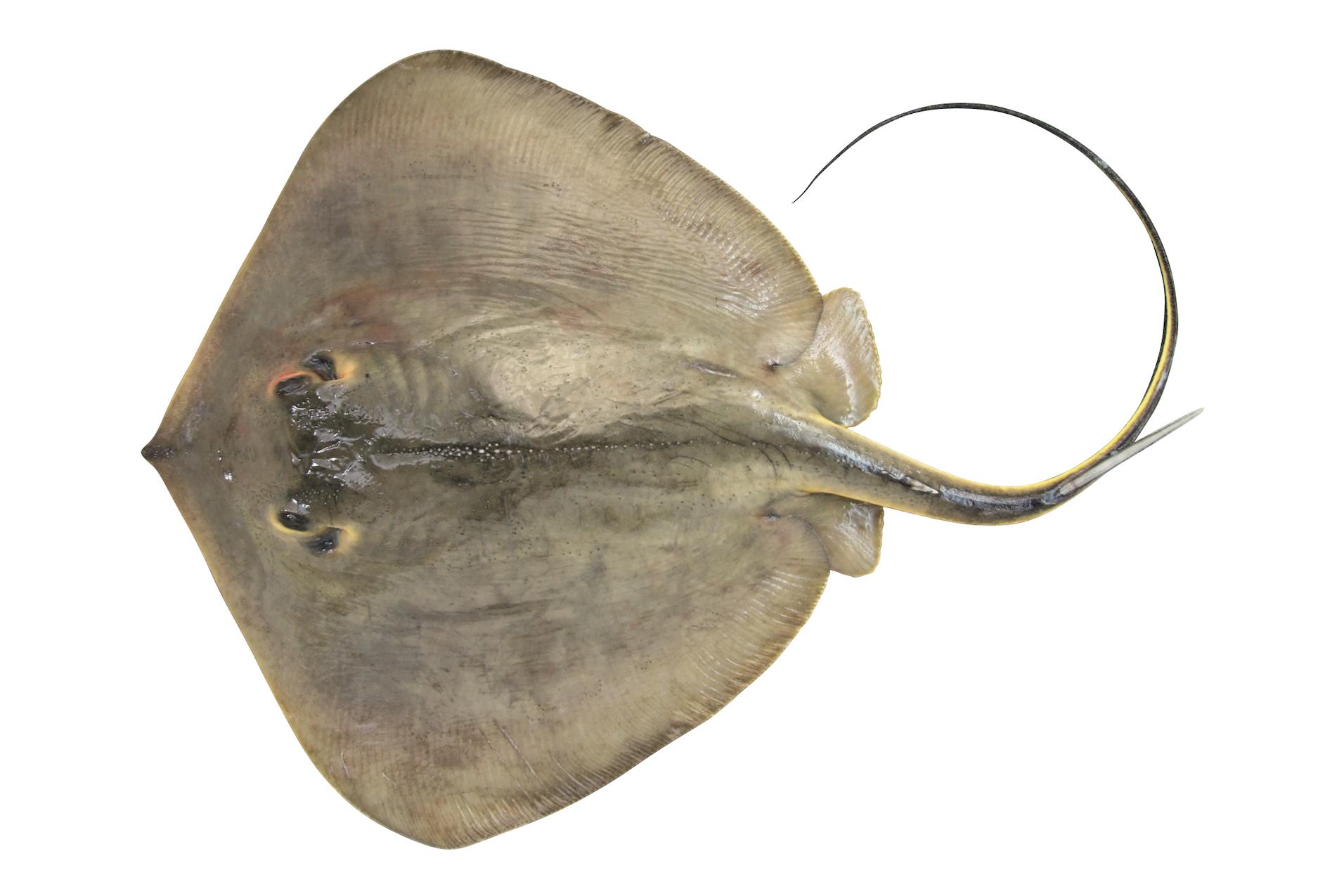 アカエイ ブルータス 魚