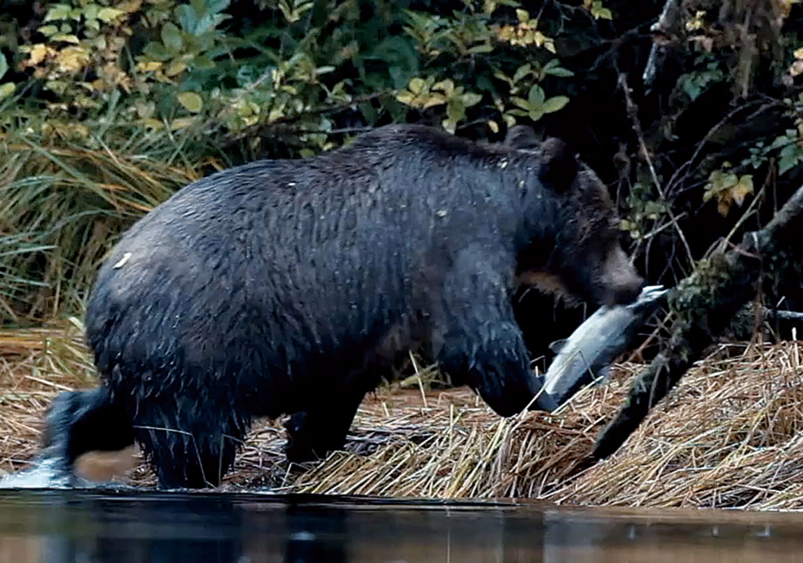 適正なサーモンの捕獲は野生動物の命や、豊かな森を守ることにつながっていく。