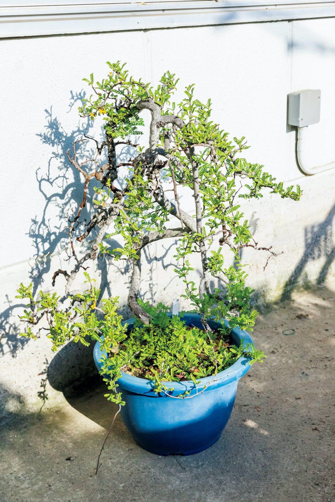 Osteomeles subrotunda/オステオメレス サブロツンダオペルクリカリアより断然良い!今流行ってるオペルクリカリアより断然良いものと思うけどなぁ~、亜熱帯の海岸に自生しているが耐寒性はありマイナス5~6℃あたりでも屋外で越しているで……。現在は野生種の採取は禁止されている。この木は規制前に現地の人が手に入れたもの。和名は天皇梅。