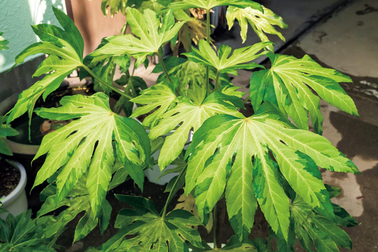 Fatsia japonica 'Murakumonishiki'/ヤツデ '叢雲錦'ヤツデの最高峰!黄中斑入りの非常に美しい品種……。白覆輪斑の品種より現れたらしいが詳しい情報は知らない……。生長はとにかく遅くとにかく貴重品種!ヤツデの中でも最高峰!新葉展開時の斑の色は最高!日本人よ、こういう存在を忘れるな!