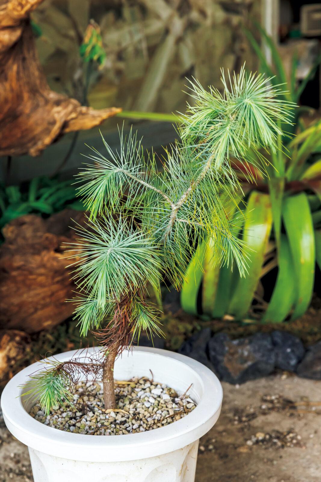 Pinus maximartinezii/ピナス マキシマルチネジーその日まで精進するしかない……。メキシコ中部原産の珍しい松の一つ……。青白い葉……、たまらん~、こんなの最高!と一株は地植え……、一株は鉢植えで維持している。和名はマルチネスピニョンマツ……。20㎝を超える松笠がなるらしい……、何年かかるんやろ……。