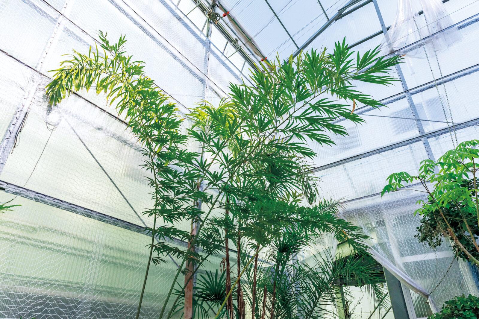 Cycas debaoensis/サイカス デバオエンシス貴重な雌株!中国原産の貴重品種で現在は保護されている品種。鉢植えでも幹が大きくなってくると3メーター近くの葉を美しく展開する。しかも数少ない雌株になる……。現在は葉が3枚だがかなりのボリューム!7月末のうちのイベントの飾り付けに使おうかと……。