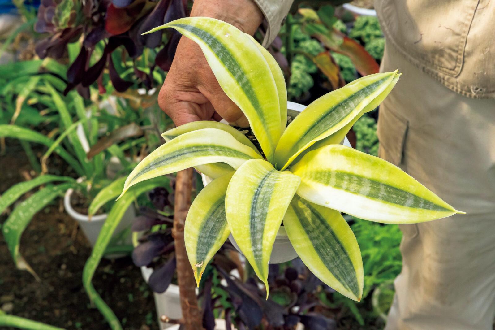 Sansevieria trifasciata 'Futura Gold'/サンセベリア トリファスキアタ 'フツラゴールド'珍しいもんでも、うちにはあるのがフツ〜ラ。サンセベリア属のトリファスキアタ種には、ローレンティ種、フツラ種、ハーニー種の3タイプが存在。そのフツラ種の銘品'フツラゴールド'がこれ……、こんな素晴らしいのはめったにないのだが、自社では、あるのが、フツ〰〰ラ……。