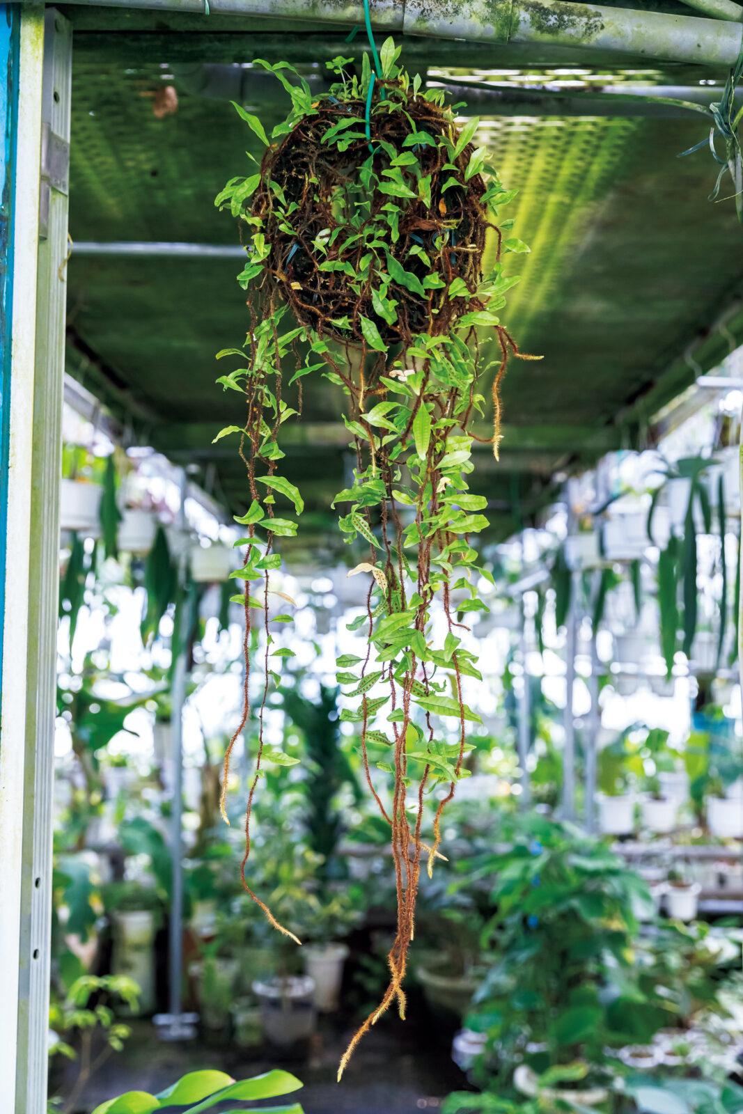 Microgramma vacciniifolia/ミクログランマ バクシニフォリアコスタリカで採取した面白いシダ。もう5年になるだろうか。コスタリカで採取した面白いシダ……。湿度のある温室で育てると面白いように毛だらけの軸が伸びる……。貴重な品種ゆえ大切に育てているけど水さえやっとけば育っていく……。最低温度はどうやろ5℃?現地は結構寒かったけどな……。
